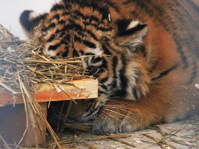 Вбелгородский зоопарк привезли амурских тигрят игималайских медвежат